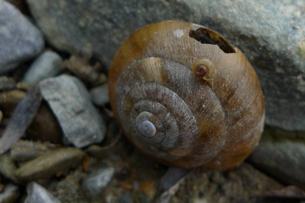 Aegopis verticillus, Foto: K. Mason