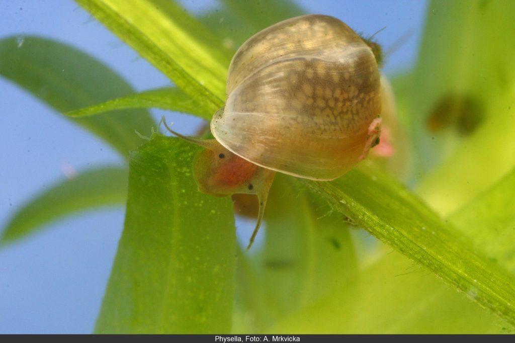 Physella, Foto: A. MRKVICKA