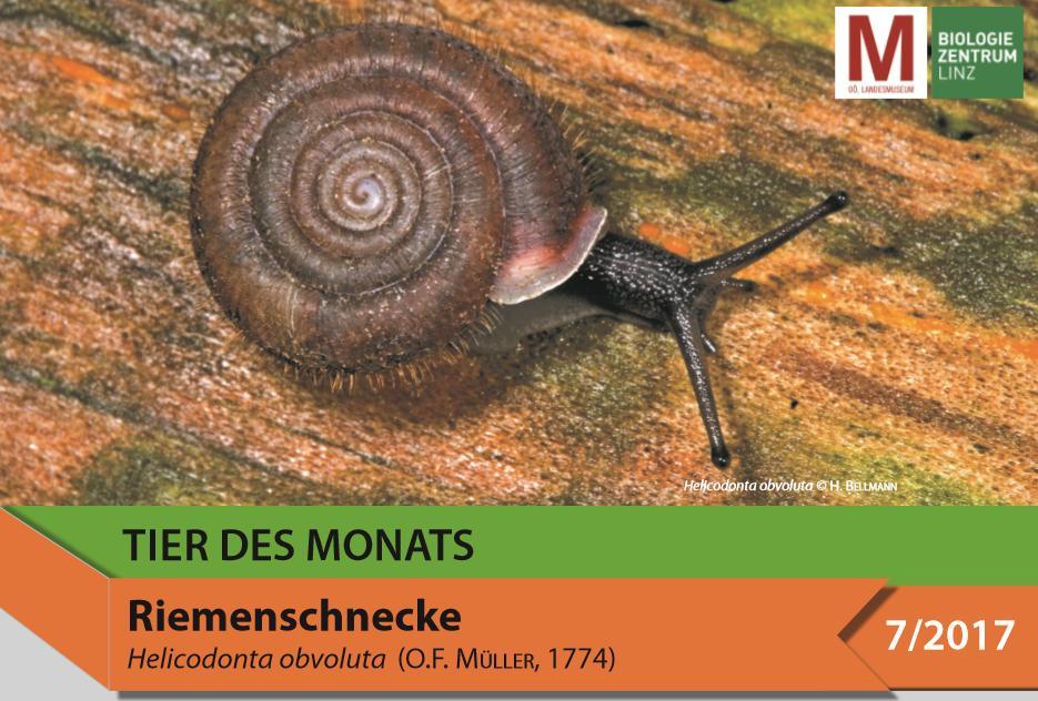 Tier des Monats - Helicodonta obvoluta