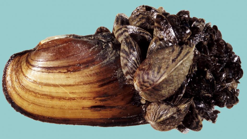 Unio pictorum und Dreissena polymorpha