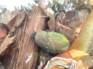 Planorbarius corneus (Posthornschnecke)